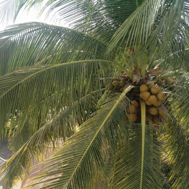 coconut-travelling-cambodia-asia-
